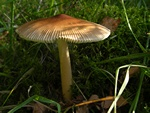 Amanita fulva